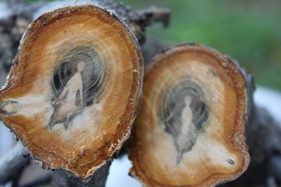 "lumberjacket:  ""Apricot Sprites"" found in the cross sections of a fruit tree by Daniel"
