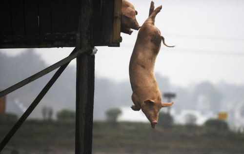 A pig dives into water in Ningxiang county, Hunan province, on November 15, 2012. Villager Huang Demin drives his pigs to dive into the water from a 3-meter-high platform at least once a day, believing that the diving exercises would improve the quality and taste of the meat. He would later sell the meat of his pigs at three times higher than market prices, local media reported.