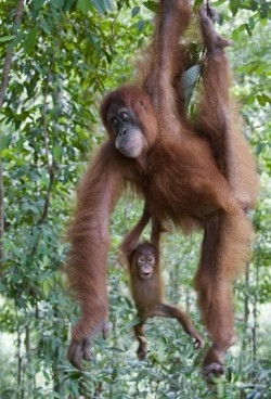 A baby orangutan clings to her mother as they swung through the treetops in Indonesia Picture: SOLENT