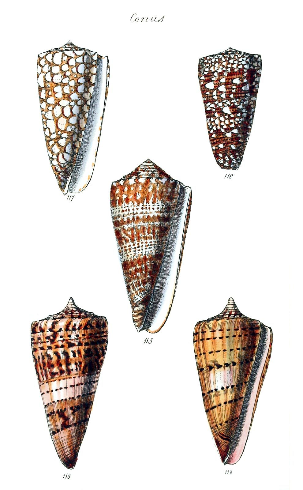 oldbookillustrations:  Conus.  From The conchological illustrations, by George Brettingham Sowerby, London, 1832.  (Source: archive.org)
