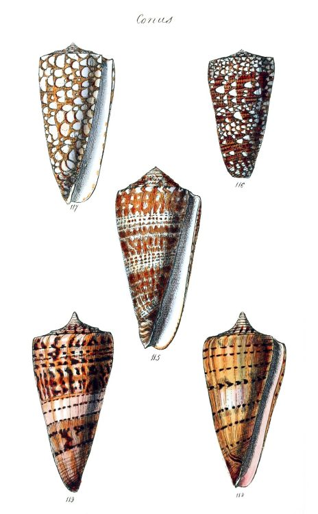 Conus.  From The conchological illustrations, by George Brettingham Sowerby, London, 1832.  (Source: archive.org)