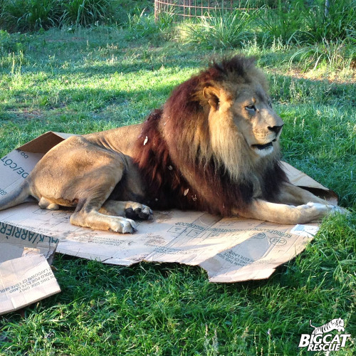 "notcuddles:  ironinomicon:  bigcatrescue:  BIG cats love boxes too!  the obverse to ""a lion still has claws my lord"" <:V  The caracal is like ""no, I am dignified"" and sorry bb, ur a cat in a box."