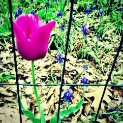 Spring love #tulip #spring #sprung #love #brooklyn #nyc