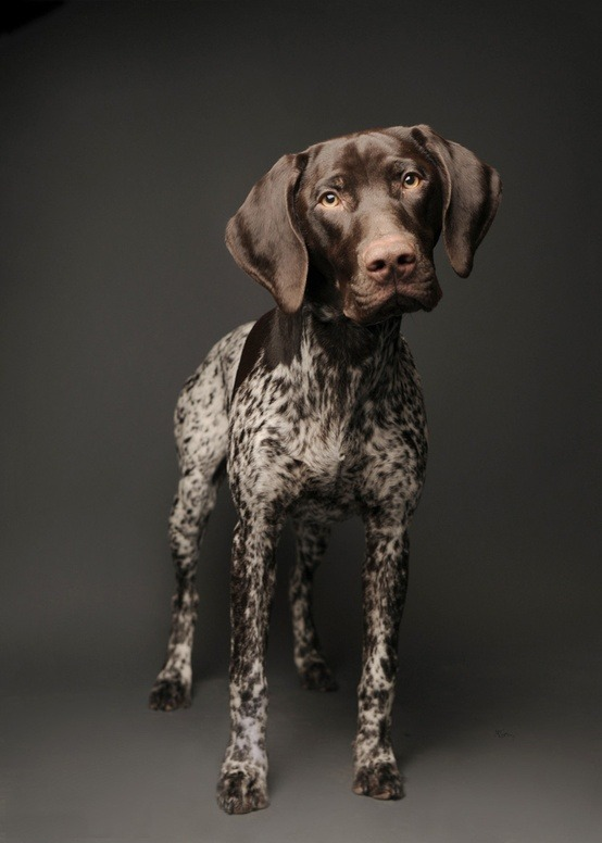 thepaintedbench:  German Short-Haired Pointer