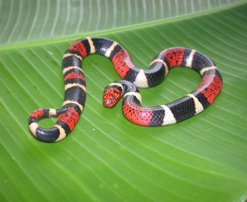 "The South American Coral Snake (Micrurus surinamensis), family Elapidae, Madre Selva Reserve,  Amazonian basin of Peru. * Here we have another species of highly venomous South American coral snake that has ""red touching black"". The little rhyme I learned in cub scouts doesn't work outside of the United States. Isn't she beautiful :3  (photo: © 2006 Shawn Mallan, via: CalPhotos)"
