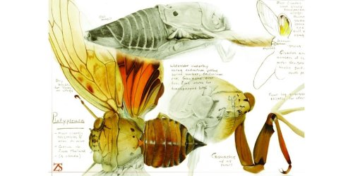 Pencil and Watercolor illustration of a Malaysian Cicada by Zel Stoltzfus You can buy copies here: http://www.etsy.com/shop/truzelman?ref=em