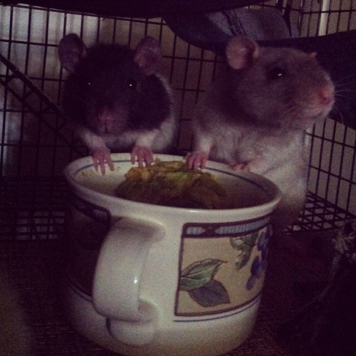 just munchin on their morning veggies 🐀🐀🐀🐭💕 #rats