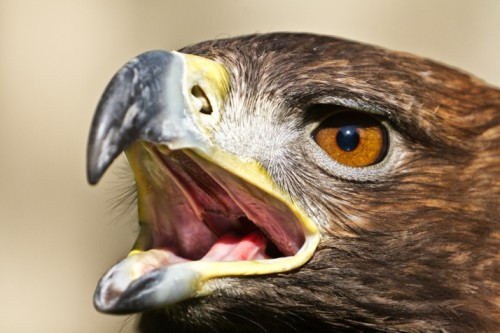 EAGLE SNATCHES BABY (REAL OR FAKE?)by Blaire Bercy http://bit.ly/UeOEWg