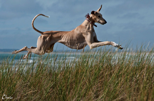 hounddogsrunning:  Flying Azawakh by Chris Lacaille