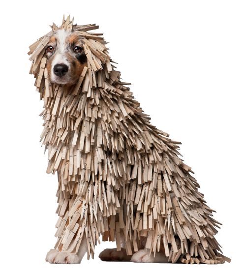 tibets:  Australian Shepherd puppy covered with clothespins