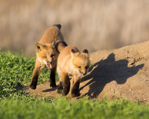 llbwwb:  Kit Fox (by m_Summers)