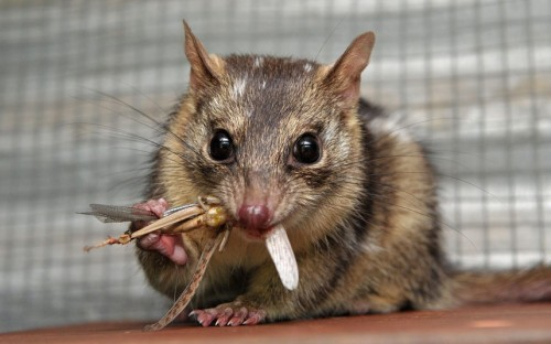 allcreatures:   Ginger Meggs the Northern Quoll is fed a cricket by zookeeper Lynda Veyret from the Endangered Species Conservation Unit at the Territory Wildlife Park, near Darwin, Australia  Picture: Justin Sanson/Newspix / Rex Features (via Pictures of the day: 9 May 2013 - Telegraph)