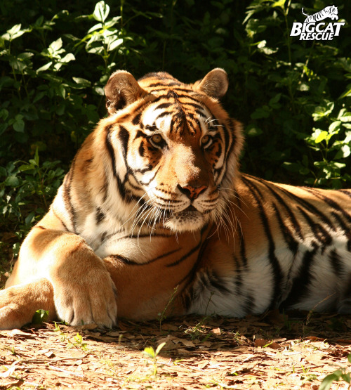 SHERE KHAN = 750lb tiger !!