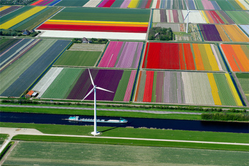 danceabletragedy:  Tulip Fields in the Netherlands by Normann Szkop