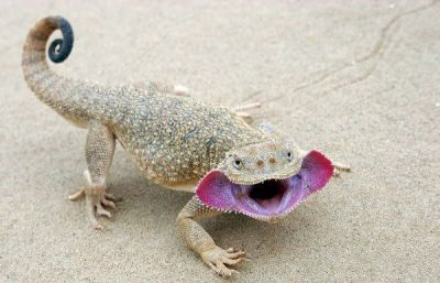 "fluffybumsandscales:  Toad-headed agama (male)  Only the males of this species have the face ""flaps""/openings.  No….I want one"