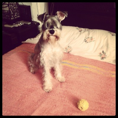 Abbey Lee loves her ball #doglover #schnauzer