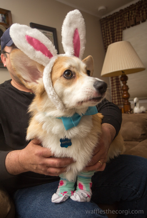 wafflesthecorgi:  Hippity, Hoppity, Waffles' on his way! Look at those socks.