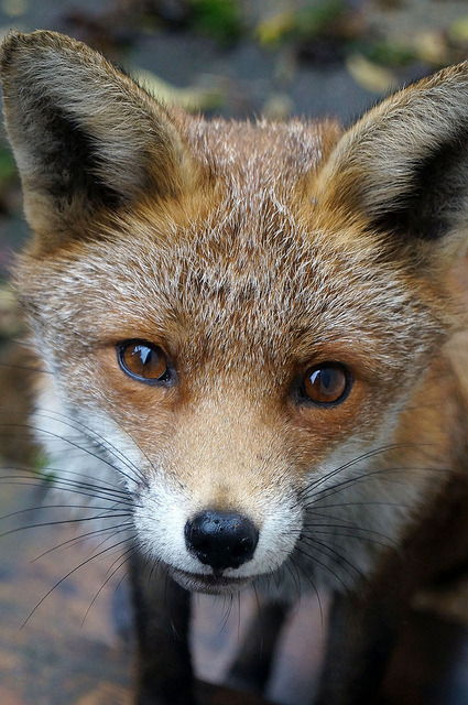 thepredatorblog:  Red fox (by GL's Photos)