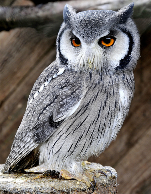 llbwwb:  WHITE FACED SCOPS OWL (by Musicaltone)