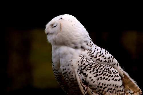 petitpoulailler:  fairy-wren: Snowy Owl photo by Tinap