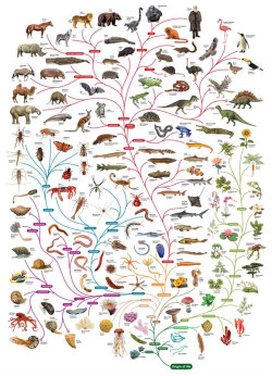 mucholderthen:  Phylogenetic Tree of Life The OpenLearn site used to offer this phylogenetic chart in the shape of a tree as a free poster, but no more.  They do have an online version of this same illustration, expandable and with links and an explanatory guide:Tree of Life - Open University.