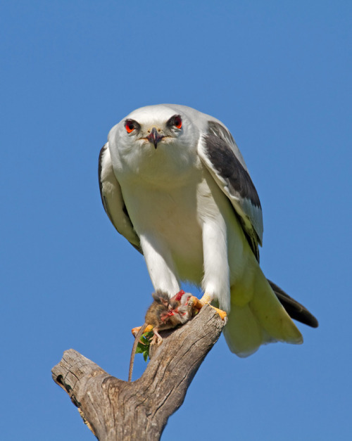 emuwren:  The Black-shouldered Kite (Elanus axillaris) is a small raptor found in open habitat throughout Australia.
