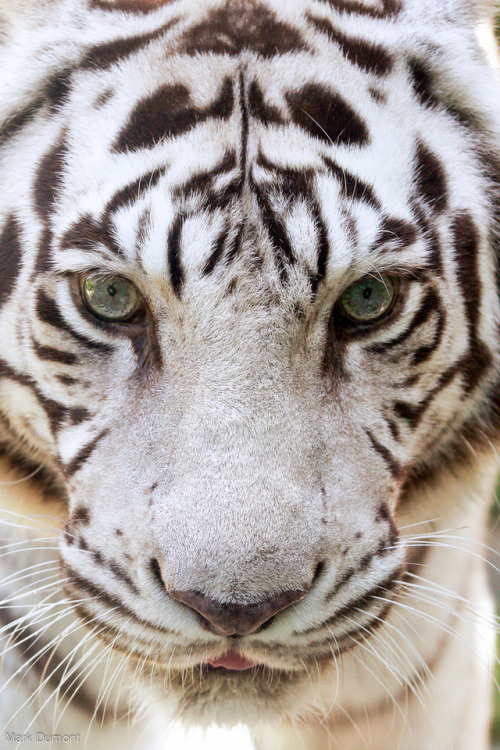 animals wildlife tigers white tiger