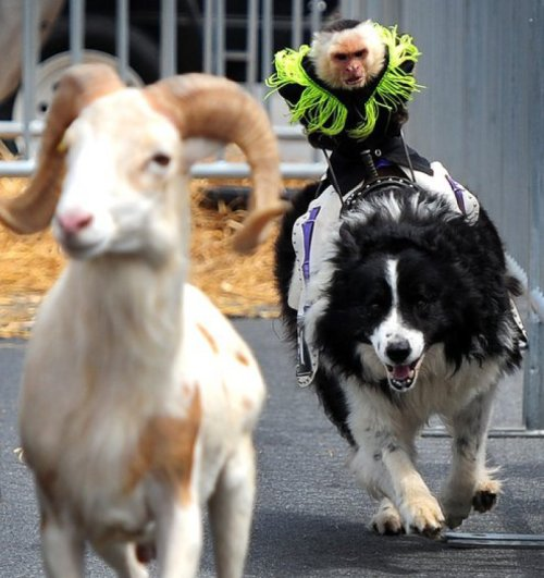 Monkey riding a Border Collie pays Mountain Goat a visit A re-enactment of the popular children's fable…obviously