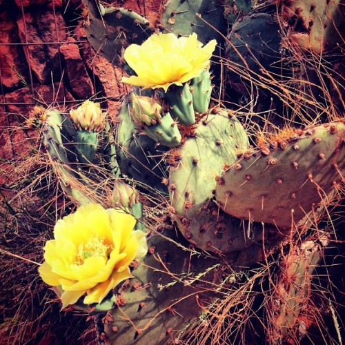 Prickly Pear Blooms! #pricklypear #cactus #sedona #arizona #desert #hike #flower #nature  (at Cathedral Rock)