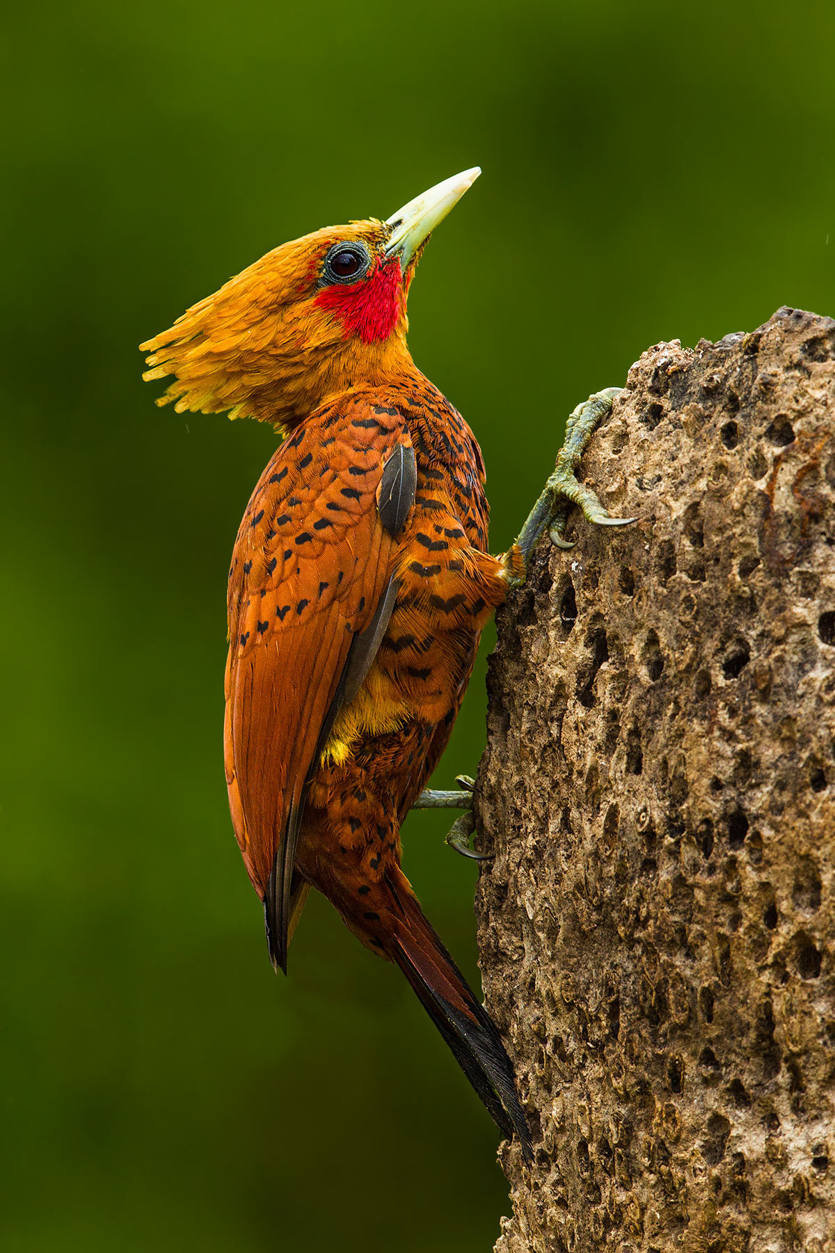 emuwren:  The Chestnut-coloured Woodpecker - Celeus castaneus, is a species of bird in the Picidae family. Its natural habitat is subtropical or tropical moist lowland forests. Photo by Bill Holsten.