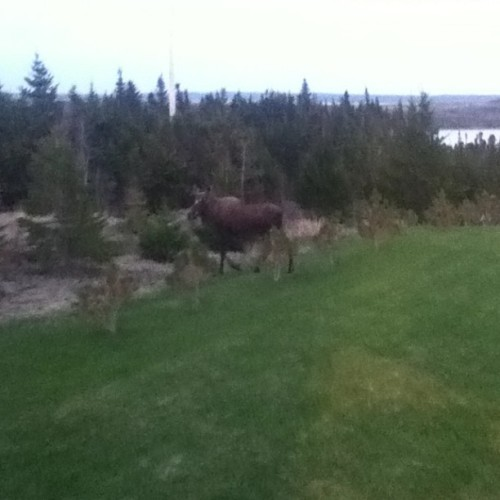 Luh. moose on the lawn.