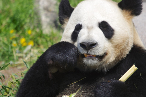 giantpandaphotos:  Da Mao / Er Shun at the Toronto Zoo in Toronto, Canada, on May 17, 2013. © Simon Chambers.
