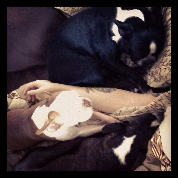 clevotine:  Waking up to three Boston's in your face #bostonterrier #bostonterriers