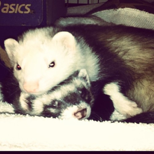 I love these cuties so much :)#ferrets #ferretlove #adorable #mybabies #snuggles #love
