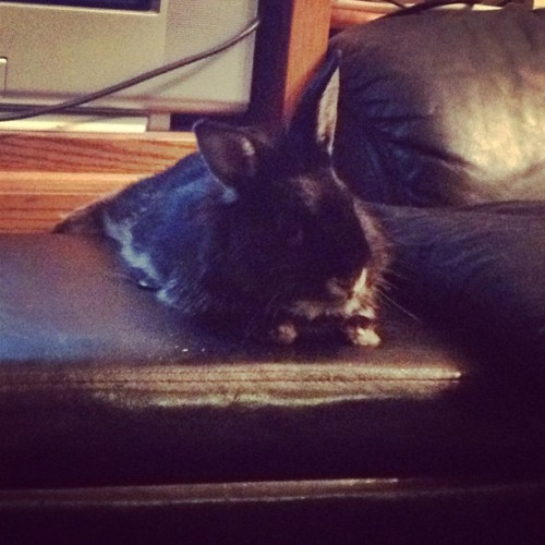 And now he's chilling on the ottoman #bunny #bunstagram #animals #rabbit