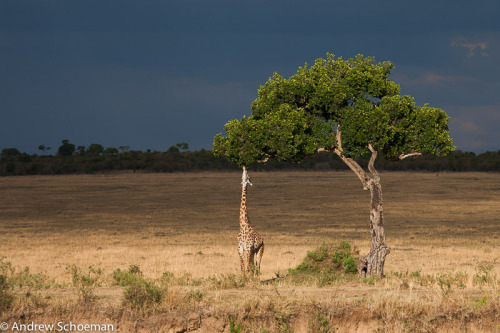 "Stretch by Andrew Schoeman. ""Giraffe stretching almost to its limit to feed on the Lower branches of the tree on the Banks of the Mara River in Kenya.."" Thank You, Andrew!  andrewschoemanphotography Source: 500px.com"