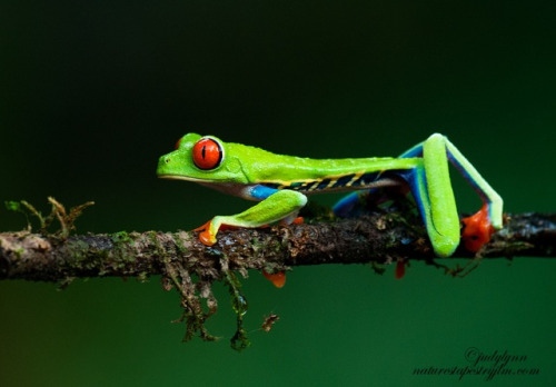 Red-Eyed Tree Frog by Judylynn Malloch