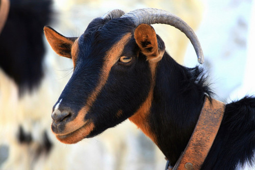 Portrait of a goat by Marite2007 on Flickr.