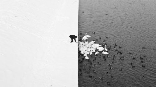 v0tum:  A man feeding swans and ducks from a snowy river bank in Krakow.