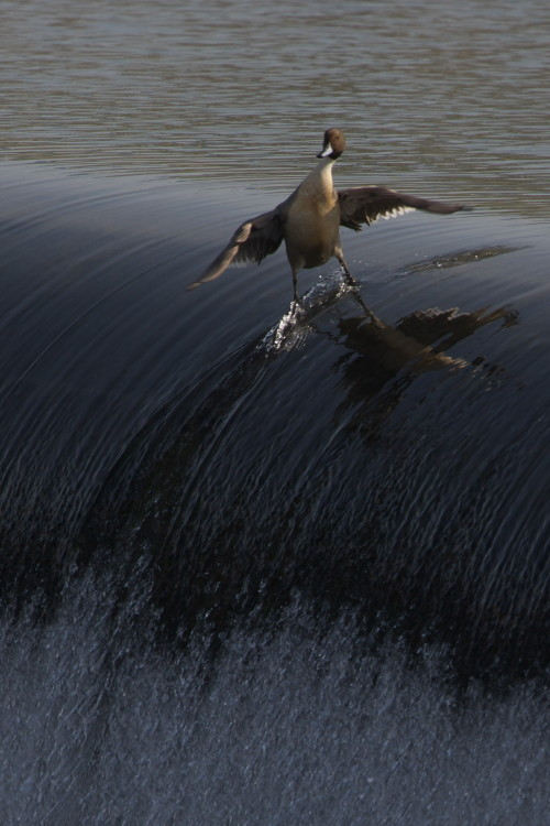 tidalwavesstudio:  surfin bird.