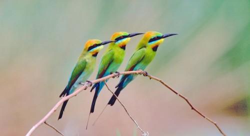 oceaniatropics:  Rainbow Bee-Eaters, New South Wales, Australia