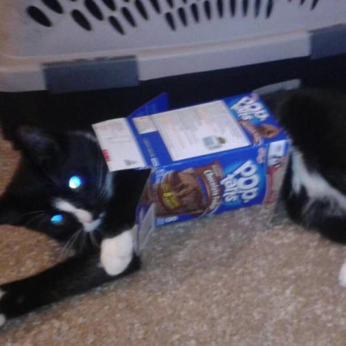 getoutoftherecat:  get out of there cat. you are not a poptart.