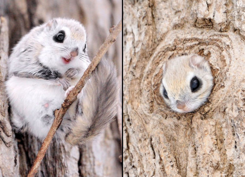 allcreatures:  Siberian flying squirrel on Hokkaido. Picture: Masatsugu Ohashi/Rex Features (via Pictures of the day: 18 February 2013 - Telegraph)