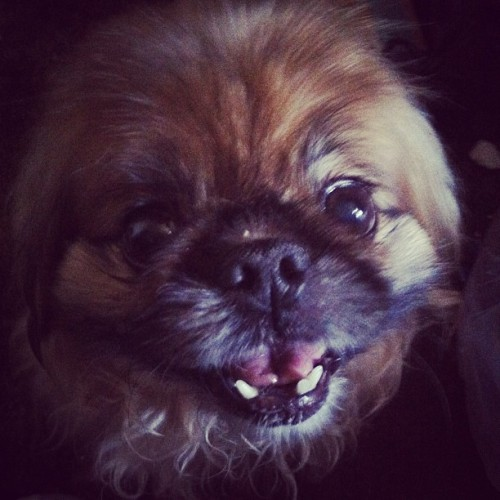 Who needs teefers with a face like this?! #peke #hopsing