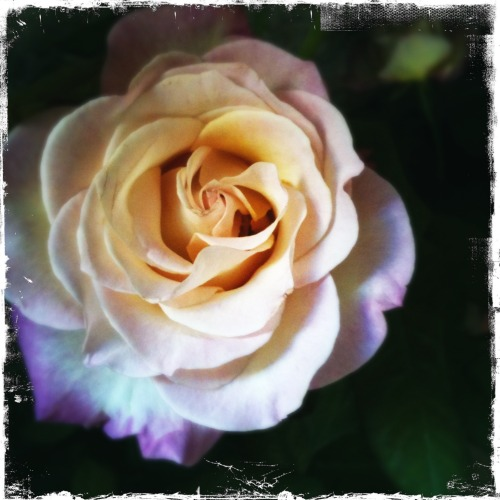 Love the lilac edges #alterarosa #avignon #rose #flowers
