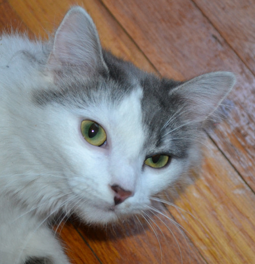 nobsaur:  theelyciumfields:  my friend's cat is so loveable! And pretty.  reblogging because cat.