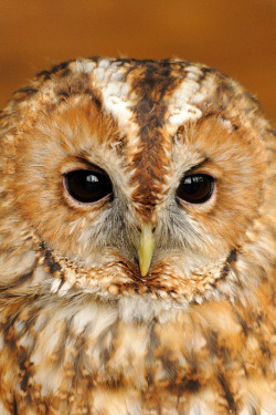 fairy-wren:  Tawny Owl. Photo by amylewis