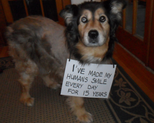 dogshaming:  Reverse dog shaming?Meet Shadow. Thought I'd share the flip-side of dog shaming. It may not make you laugh, but it…View Post