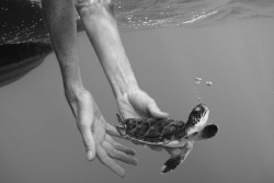 cute adorable Black and White summer water ocean sea swimming babies turtles baby turtle photagraphy
