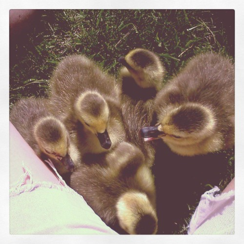 5 little goslings in my lap